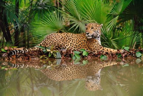 the jaguar - Greenoxx Global Enviroment Program