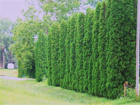 arborvitae trees g a r d e n m o t h e r american arborvitae thuja orientalis
