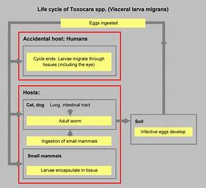 Introduction to Diagnostic Medical Parasitology - Toxocariasis