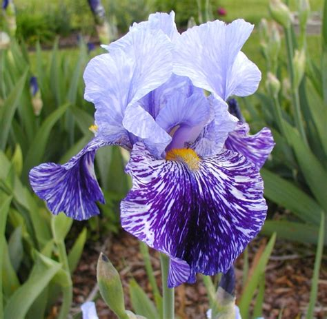 bearded irises tallbearded