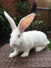 Best Giant Rabbit Ideas And Images On Bing Find What You