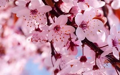 Blossom Cherry Japanese Desktop Blossoms Background Branch