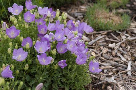 summer flowering perennials for shade favorite summer blooming perennials hgtv