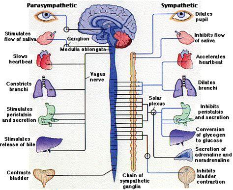 carta sistem pernafasan nervous system designer
