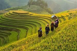 Terrace rice field,vietnam | Rice fields on terraced of Mu ...