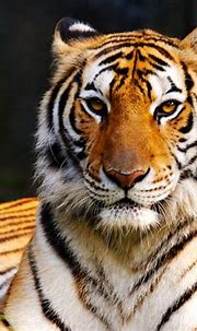 Colors of Nature Tiger HD Wallpapers   Desktop Wallpapers