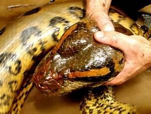 Secrets of the Amazon: giant anacondas and floating ...