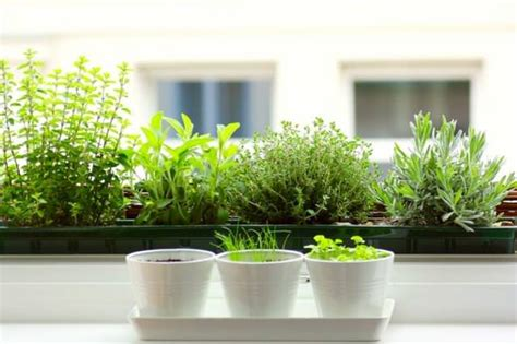 Herb Garden Indoor : 12 Best Herbs To Grow Indoors