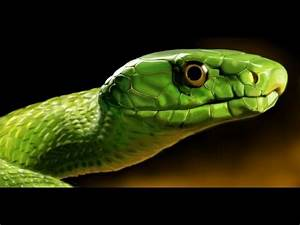 Tree Python, Green Mamba, Spitting Cobra, Black Mamba ...
