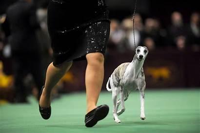 Dog Dogs Westminster Ke Bagikan Label Wallpapersafari