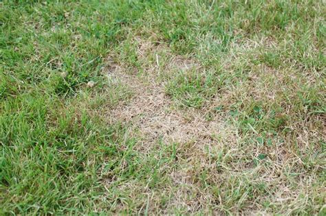 grubs in lawn insecticide may be needed to engage grubs keil tree experts inc
