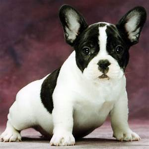 French Bulldog breed | Breeds of Bulldog: all Bulldog ...
