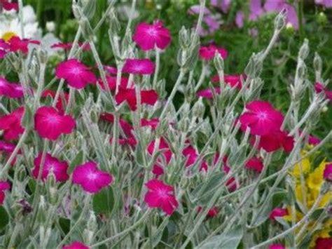 grijze bladeren gele bloem 17 beste afbeeldingen over vaste planten met grijs blad op