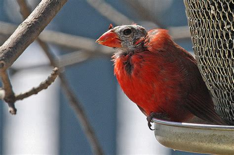 molting male cardinal 169 thank you flickr land