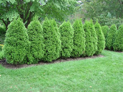 Decorating: Wonderful Emerald Green Arborvitae For Garden