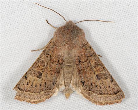 http://www.lepidoptera.se/arter/gr%C3%A5tt_s%C3%A4lgfly.aspx