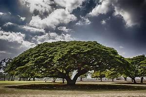 Monkey Pod Tree- Oahu Hawaii Photograph by Douglas Barnard