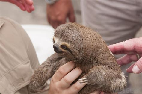 sloths as pets what are the pros and cons of keeping a pet sloth