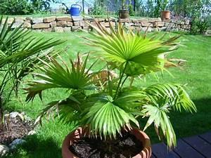 Palmen Für Draußen : palmen und co welche palmenart ~ Michelbontemps.com Haus und Dekorationen