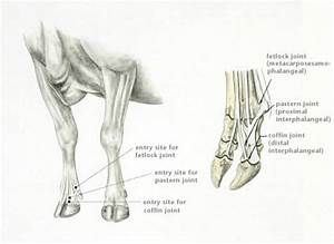 Image  Arthroscopy Joint Entry Sites  Digit  Cattle