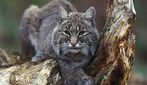 Bobcat Facts: Animals of North America - WorldAtlas.com
