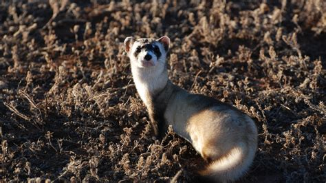 wallpaper ferret  sunny day soft fur animal