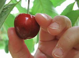 Picking Cherries  U2013 Compliance Building