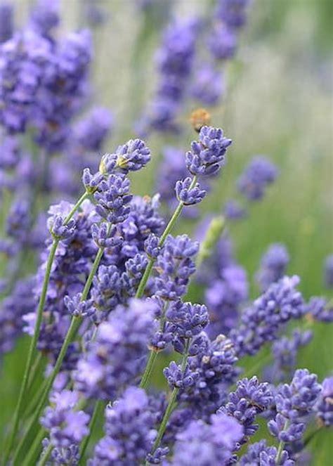 lavender plants in florida 25 best ideas about lavender plants for sale on pinterest cotton decor home decor sale and