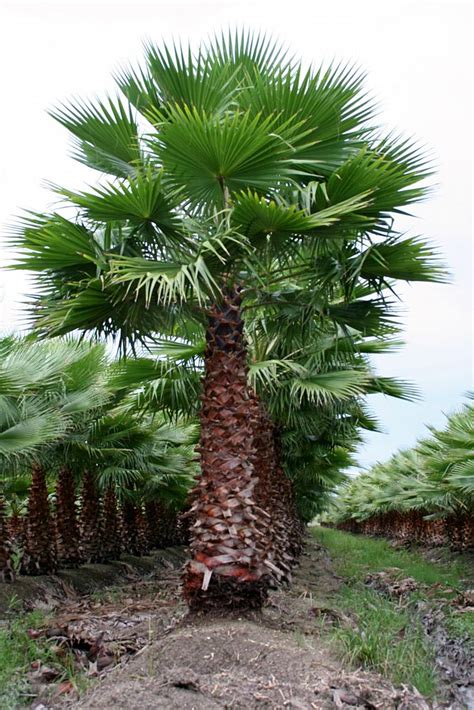 mexican fan palm care florida tree farms inc plantant com