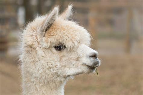 Alpaca Pako Mammal · Free Photo On Pixabay