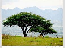 Operación Huizache, Recuperación de árboles nativos Vía