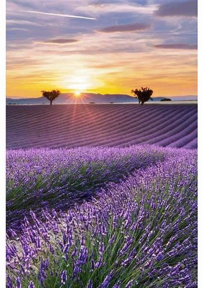 Lavender Salvo Plus Google Fields Field