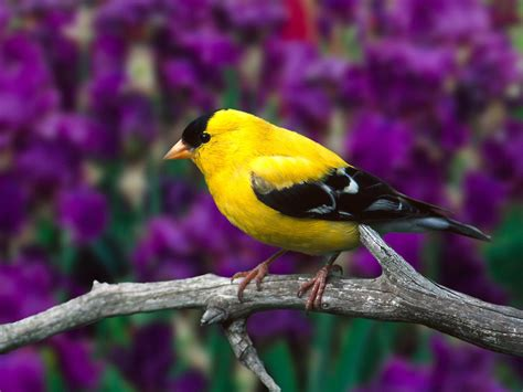 american gold finch bird
