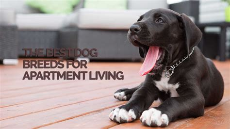Best Appartment Dogs by The Best Breeds For Apartment Living