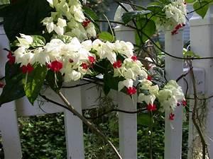 Kletterpflanzen Mehrjährig Winterhart : bl hende kletterpflanzen 10 winterharte arten f r garten ~ Michelbontemps.com Haus und Dekorationen