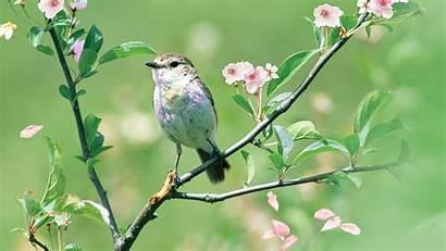 Tree Bird Spring Wallpapers Apple Sakura Widescreen