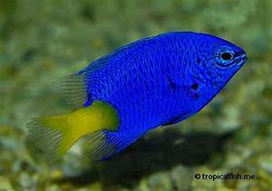 Damselfish Exotics Fish