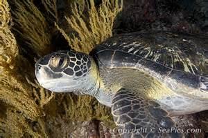 Pacific Black Sea Turtle