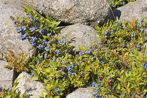 Ripe Maine Low Bush Wild Blueberries Photograph Photograph ...