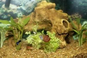 Fische Für Anfänger : guppies im aquarium fische artgerecht halten ~ Orissabook.com Haus und Dekorationen