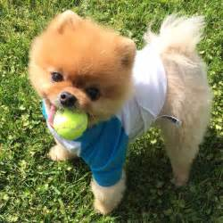 Pom Jiff Pomeranian Dog Owner