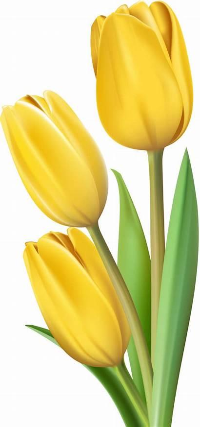 Tulip тюльпаны Ru Flowers Clipart Painting Tulipani