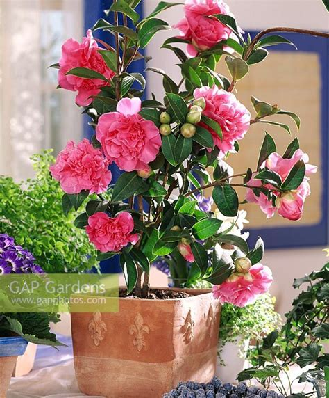 gap gardens camellia japonica debbie in terracotta pot indoors as houseplant image no