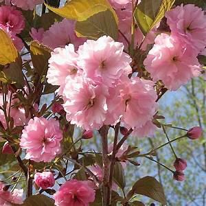 Planter Un Cerisier : prunus serrulata 39 kanzan 39 cerisier japonais image 1 ~ Melissatoandfro.com Idées de Décoration