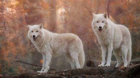 And Wolf Wallpaper Hd by White Wolf Wallpapers Hd For Desktop Backgrounds