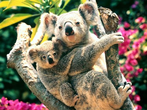 Live Animal Wallpaper For Mobile - nature animals koalas baby animals wallpapers hd