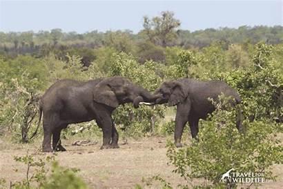Elephant Bigger Talk Than Yours Mine Elephants