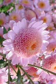 Pink Mums Flowers