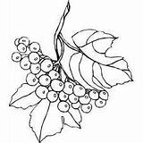 Berries Coloring Pages Berry Branch Drawing Flowers Plants Printable Getdrawings Freeprintablecoloringpages sketch template