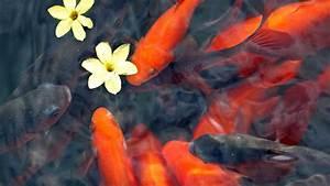 Goldfische Im Teich : teich fische erst bei zweistelligen temperaturen aussetzen ratgeber ~ Eleganceandgraceweddings.com Haus und Dekorationen
